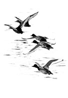 Pen and ink drawing of a flock of ducks in flight
